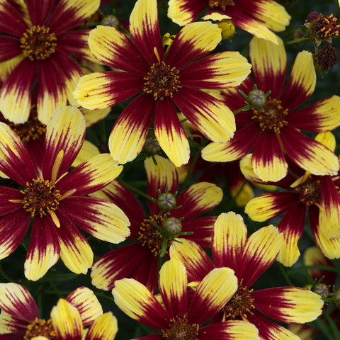 Coreopsis Sunstar 6 Plant Pack - Despatch From WC 22nd March