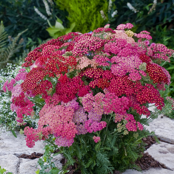 Achillea Summer Berries 6 Plant Pack - Despatch From WC 17th May