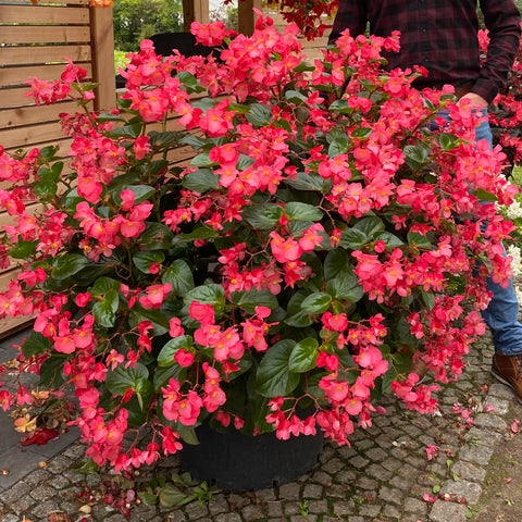 Begonia Whopper 6 Plant Pack - Despatch From WC 24th May