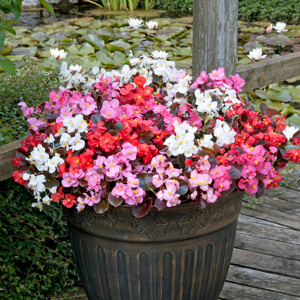 Summer Bedding Busy Lizzie and Begonia 24 Plant Pack- Despatch From WC 10th May