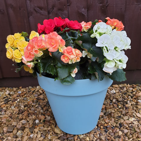 Begonia and Planter Set x2
