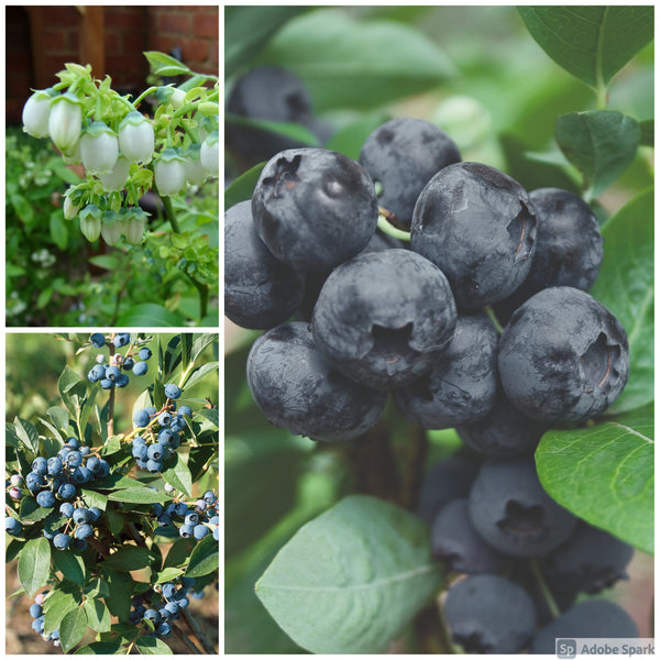 Blueberry Long Season Harvest 3 Plant Collection