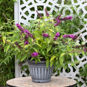 Buddleia Crown Jewel 3 Plant Pack