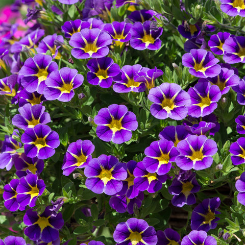 Calibrachoa Stormy Skies 12 Plant Collection - Despatch From WC 26th April