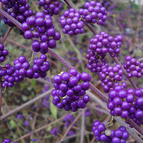 Callicarpa Profusion- Despatch from 20th July