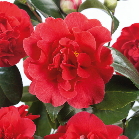 Camellia Choice of Colours with Planter