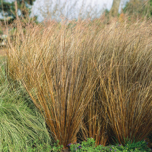 Carex buchanii Red Rooster