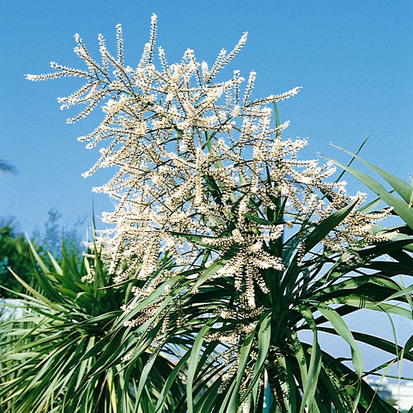Cordyline indivisa - From WC 30th November
