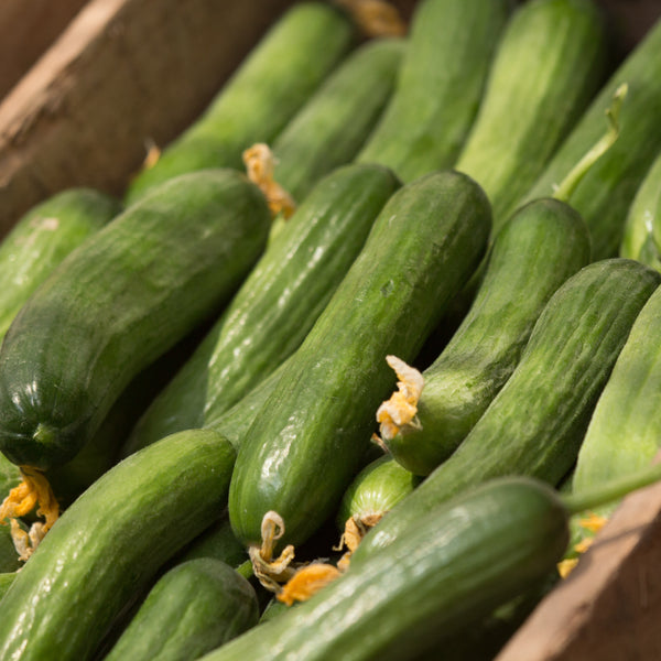 Cucumber, Courgette and Pepper 3 Plant Pack - Despatch From WC 7th June
