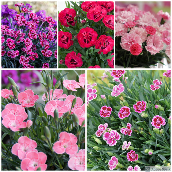 Dianthus Million Kisses 5 Plant Pack - Despatch From WC 5th May