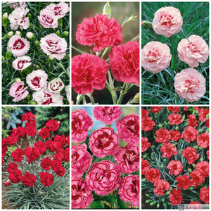 Scented Garden Pink 6 Plant Selection - Despatch Late April Early May