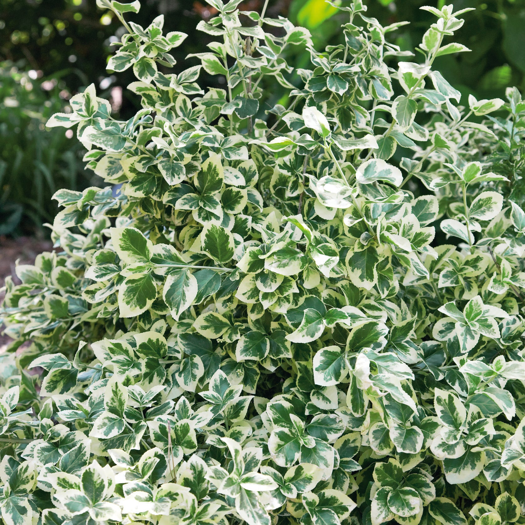 Euonymus fort. Emerald Gaiety