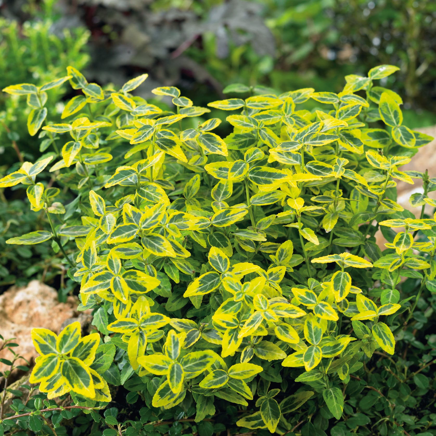 Euonymus fort. Emerald n Gold