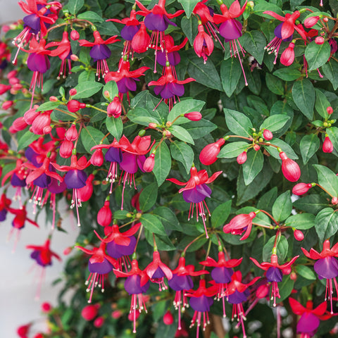 Trailing Fuchsia Mix 6 Plant Pack - Despatch From WC 24th May