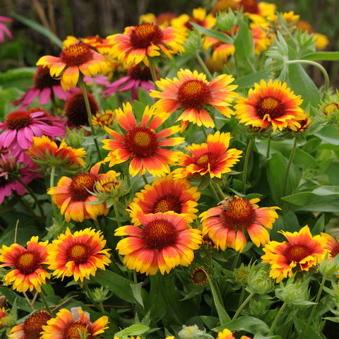 Gaillardia Mesa Bright Bicolour 6 Plant Pack- Despatch From WC 17th May