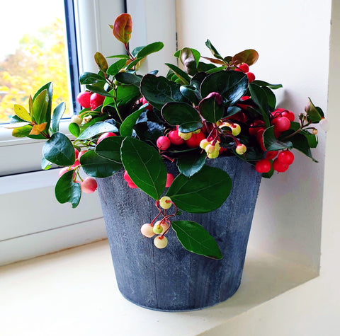 Gaultheria Big Berry in Wooden Decorative Pot