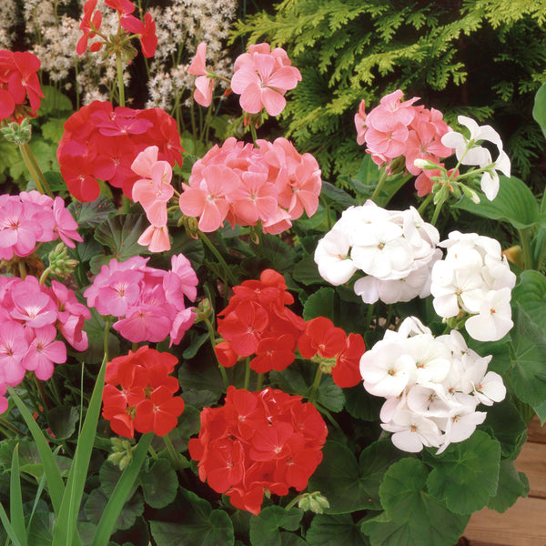 Summer Colour Bedding Collection 48 Plant Pack- Despatch From WC 10th May