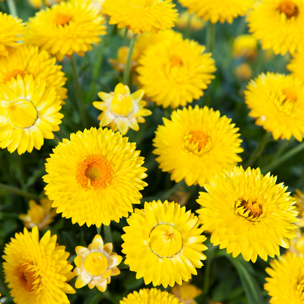 Xerochrysum Granvia Gold 3 Plant Pack - Despatch From WC 14th June