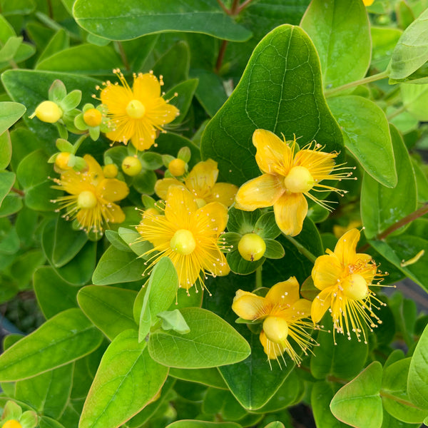 Hypericum Magical Sunshine
