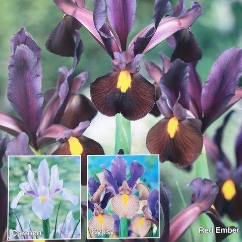 Iris Hollandica 60 Bulb Collection - Despatch from 7th September