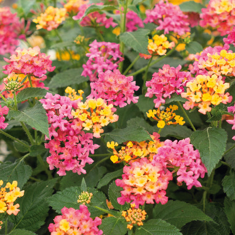 Lantana Zest 6 plant Collection - Despatch From WC 24th May