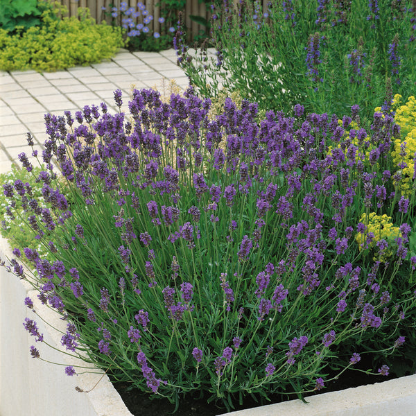 English Lavender Munstead - Despatch From WC 14th June