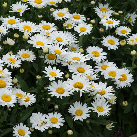 Leucanthemum Madonna 6 Plant Pack- Despatch From WC 17th May