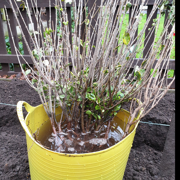 Privet Hedging Golden