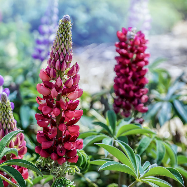 Lupin Spires Of Colour Collection 3 Jumbo Plant Pack