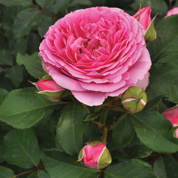 Rose Perfume Performance 3 Plant Collection - Despatch From 22nd February