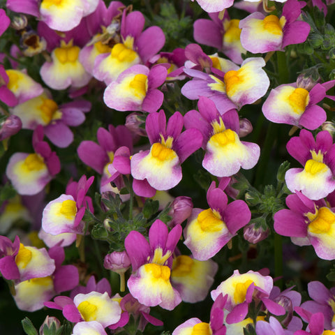 Nemesia Fragrant Delight 6 Plant Pack - Despatch From WC 24th May