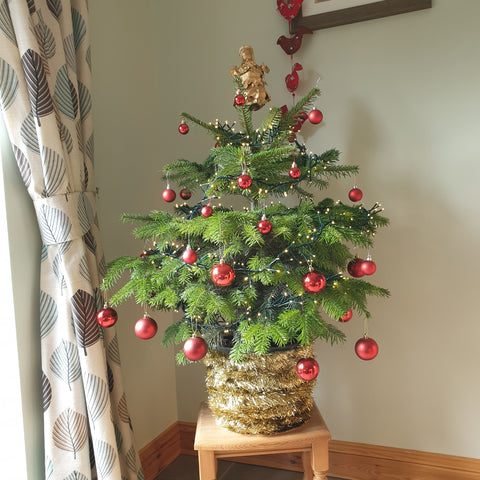 Nordmann Christmas Tree Pot Grown - Despatch from WC 30th November