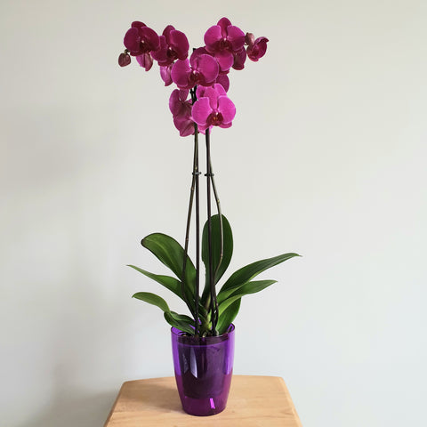 Phalaenopsis Orchid with Decorative Pot- Despatch from WC 30th November