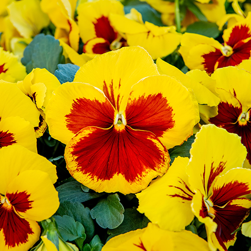 Pansy Prim Up Yellow Red Blotch 20 Plant Pack - Despatch from 5th October