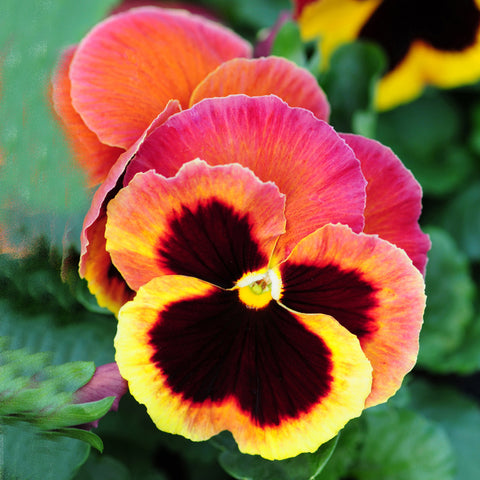 Pansy Autumn Berry 20 Plant Pack