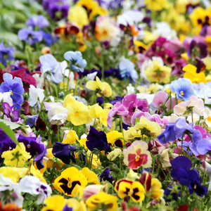 Pansy Mixed Colour 20 Plant Pack