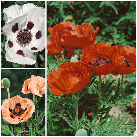 Poppy Oriental Garden 3 Jumbo Plant Pack- Despatched From WC 26th April