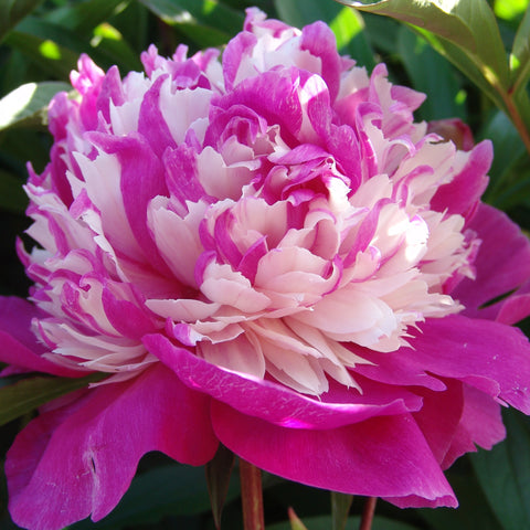 Peony Celebrity- Despatch from 19th October