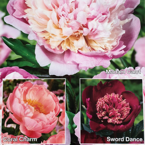 Peony Collection 3 Plant Pack- Despatch from 19th October