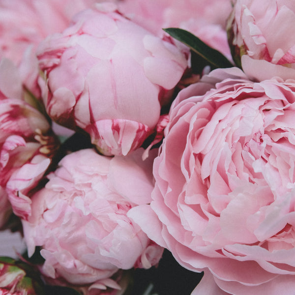 Peony Florists Dream 3 Plant Pack