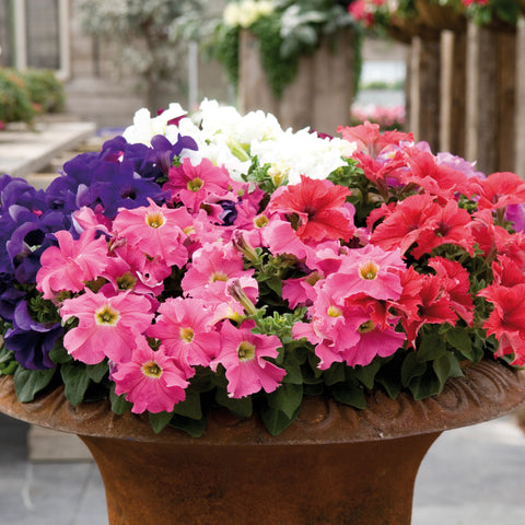 Petunia Bedding Mix 20 Plant Pack - Despatch From WC 24th May