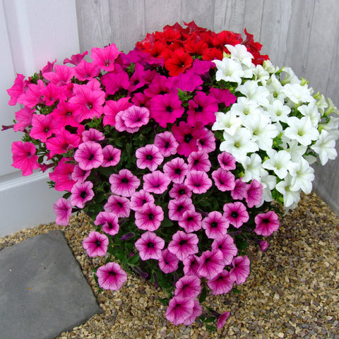 Petunia Trailing Surfinia Mix 10 Plant Pack- Despatch From WC 14th June