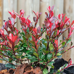 Photinia Magical Volcano - Despatch From WC 14th June