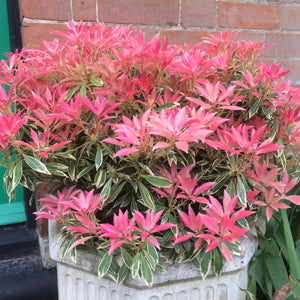 Pieris Flaming Silver - From WC 18th January