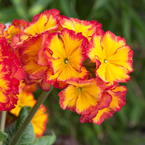 Polyanthus Firedragon 6 Plant Pack