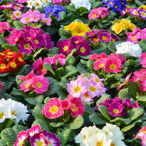 Primrose Mixed Colour 20 Plant Pack