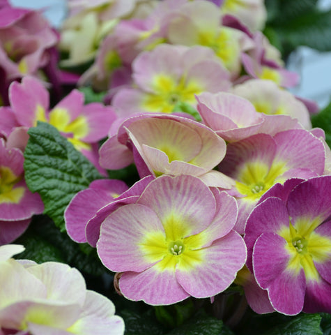 Primrose Plums and Custard 20 Plant Pack - Despatch from 5th October