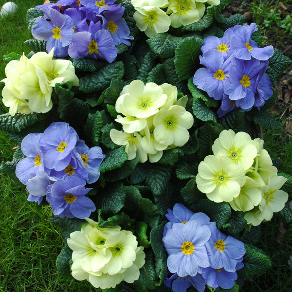 Primrose Vanilla Sky 20 Plant Pack - From 5th October