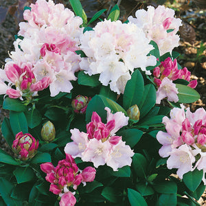 Rhododendron Dreamland - Despatch From WC 22nd February