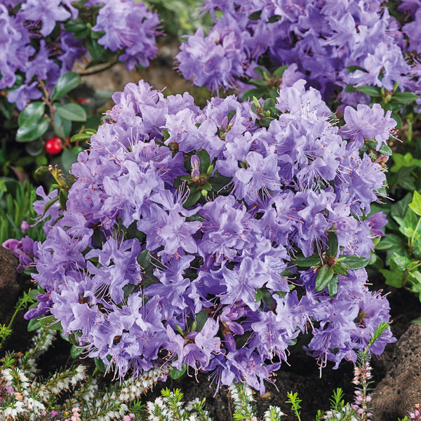 Dwarf Rhododendron Blue Diamond